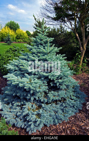 Blue spruce / green spruce / white spruce / Colorado blue spruce (Picea pungens) native to the Rocky Mountains of - Stock Photo