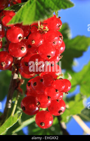 red currant - Stock Photo