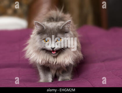 Little Persian kitten on the bed with a red blanket