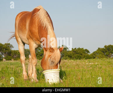Belgian draft horse eating his grain out of a bucket in the pasture - Stock Photo