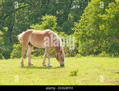 Blond Belgian Draft horse grazing in green spring pasture - Stock Photo