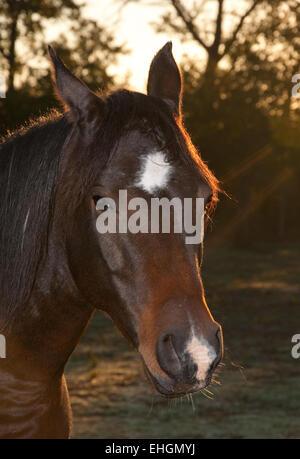 Closeup of a dark bay Arabian horse in morning light - Stock Photo