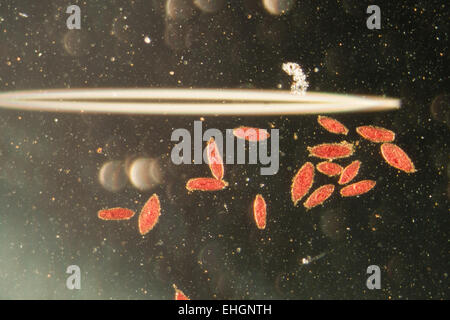 animal  conjugation of Paramecium caudatum - Stock Photo
