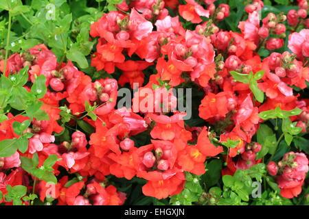 Garden snapdragon red coloured - Stock Photo
