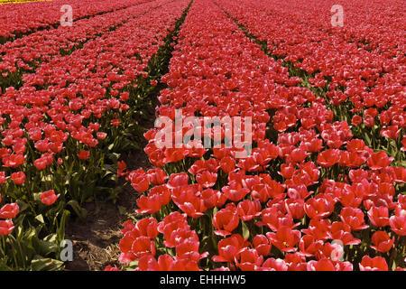 Tulip field in Holland - Stock Photo