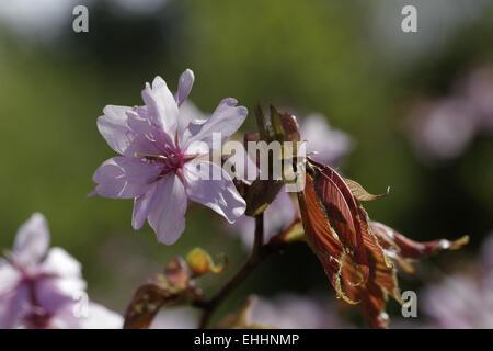 Prunus sargentii, Japanese Cherry