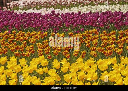 Triumph tulip Helmar (in the middle) - Stock Photo