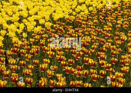Triumph tulip Helmar (on the right side) - Stock Photo