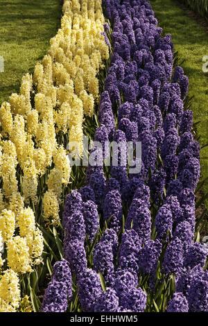 Hyacinthus orientalis, Garden hyacinths - Stock Photo