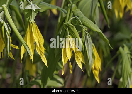 Uvularia grandiflora, Large flowered Bellwort - Stock Photo