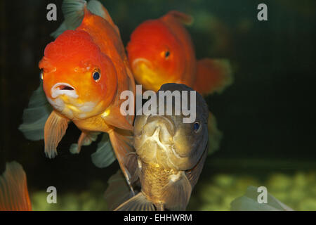 Lion head goldfish - Stock Photo