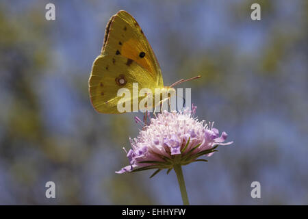 Colias crocea, The Clouded Yellow butterfly - Stock Photo