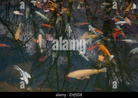 Autumn leaves on the water and fish(Cyprinus carpio).Background.horizontal - Stock Photo