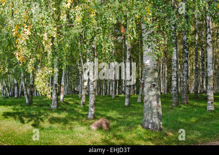 Birch Grove on the last day of summer - Stock Photo