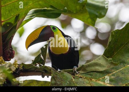 Chestnut-mandibled Toucan - Stock Photo