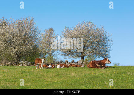 Resting calves and cows on the meadow with blossoming cherry trees - Stock Photo