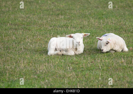 Worthing, West Sussex, UK. 15th March, 2015. With the weather warming up, Spring is on the way with young lambs - Stock Photo