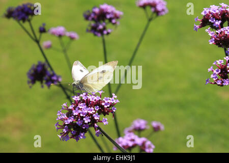 A small cabbage white butterfly on a flower of a Verbena bonariensis plant. - Stock Photo