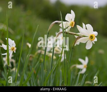 Wild daffodils, Narzissen - Stock Photo