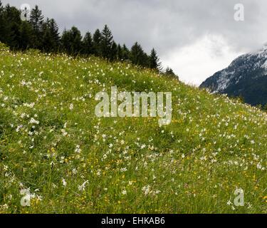 Pasture with wild daffodils - Stock Photo