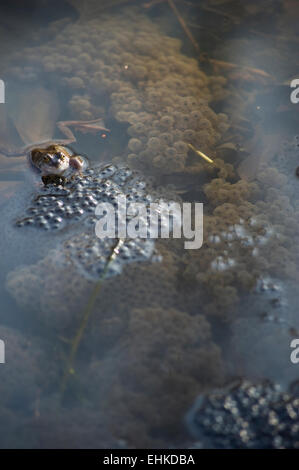 A frog in a pond tends its frog spawn - Stock Photo