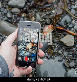 Woman's left hand using an iPhone to photograph a Rock Crab on the beach, Acadia National Park,  Bar Harbor, Maine. - Stock Photo