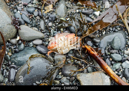 A Rock Crab struggles to right herself after a wave deposited her upside down on the beach, Acadia National Park, - Stock Photo