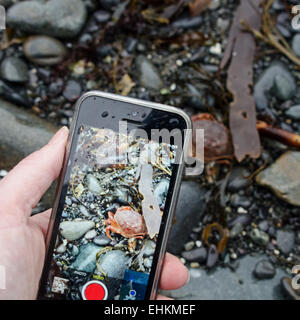 Woman's hand holding an iPhone and photographing a Rock Crab on the beach, Acadia National Park,  Bar Harbor, Maine. - Stock Photo