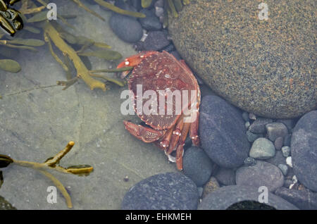 A Rock Crab (Cancer irroratus) looks for a hiding place in a tidepool, Bar Harbor, Maine. - Stock Photo