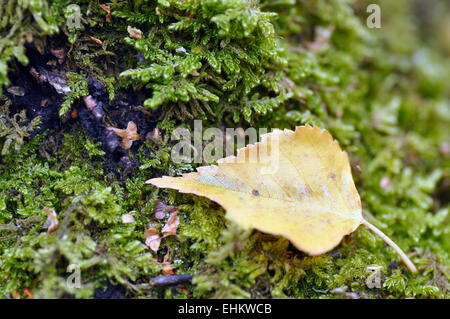 Birch leaf resting on moss on tree stump. - Stock Photo
