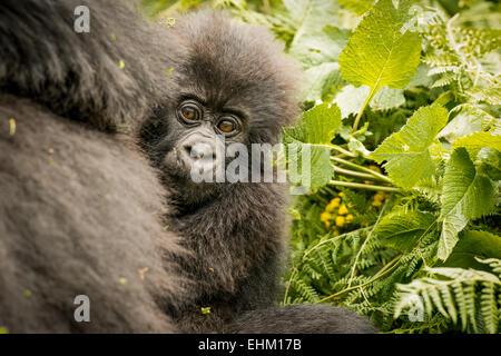 Stock photo of mountain gorilla in Volcanoes National Park, Rwanda (Sabyinyo group) - Stock Photo