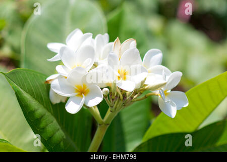 close up of white tropical flowers - Stock Photo