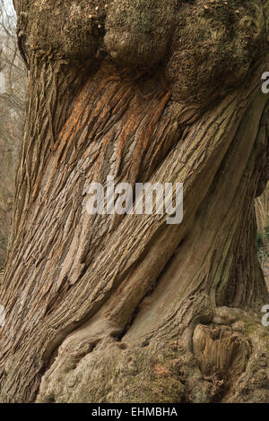 massive ancient twisted bark of mature old sweet chestnut tree starting to show signs of decay - Stock Photo