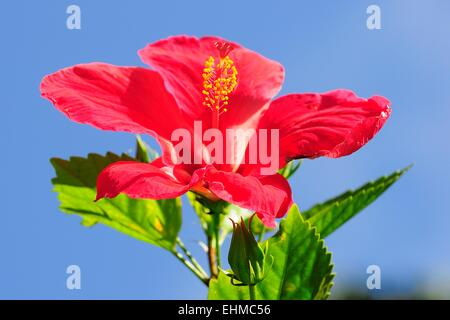 Red Hibiscus flower (Hibiscus), Seychelles - Stock Photo