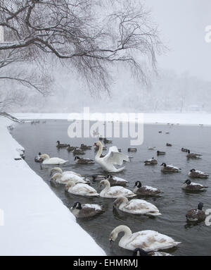 Water birds gather along the edge of the partially frozen lake in Prospect Park, hoping to be fed by people. Brooklyn, - Stock Photo