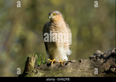 A Sparrowhawk (Accipiter nisus) rests on a branch on the edge of woodland in East Yorkshire - Stock Photo