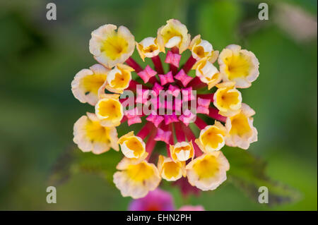 A Pink And Yellow Lantana Flower (Lantana camara)  growing in a garden near Lachi (Latsi), Cyprus - Stock Photo
