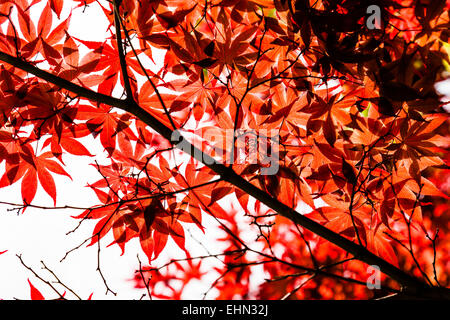 Japanese maple in autumn. - Stock Photo