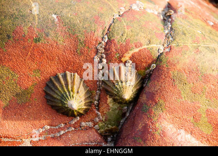 Limpets (Patella vulgata) on a rock by the sea - Stock Photo