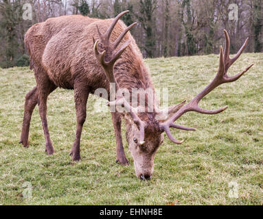 Ten point red deer Cervus elaphus stag grazing on frosted grass at Ashton Court Bristol UK Stock Photo