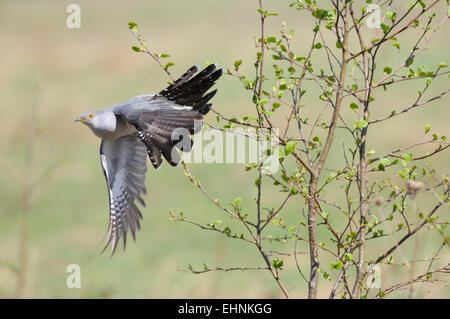 Common Cuckoo flying from the tree - Stock Photo