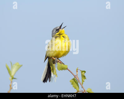 Male of Yellow Wagtail sings attracting attention of his bride - Stock Photo