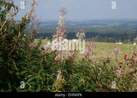 Rosebay willowherb or fireweed, Chamerion angustifolium, seeding in a hedgerow in late summer, Berkshire, September - Stock Photo