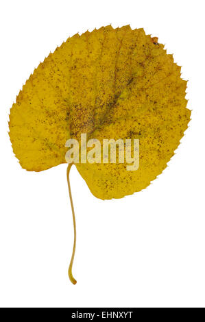 Common lime / common linden (Tilia vulgaris / Tilia europaea) leaf in autumn colours against white background - Stock Photo