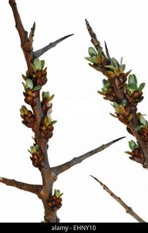 Common sea-buckthorn (Hippophae rhamnoides) twig with thorns and buds opening against white background - Stock Photo