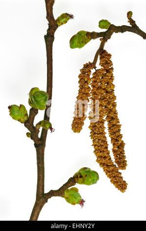 Common hazel (Corylus avellana) male catkins and female inflorescence against white background - Stock Photo