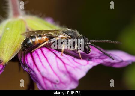 Male sweat bee, Lasioglossum calceatum, resting on a hardy geranium flower - Stock Photo
