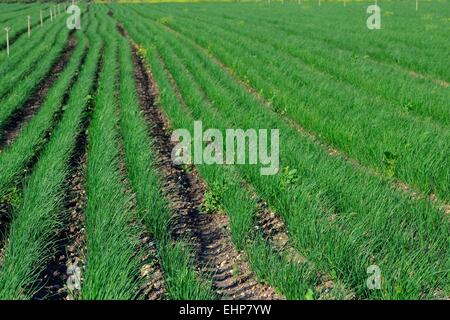 chives plantation - Stock Photo