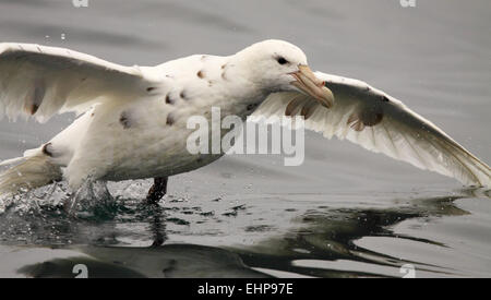 An albino Southern Giant Petrel landing on the ocean. - Stock Photo