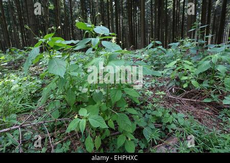 Impatiens parviflora, Small Balsam